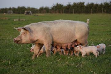 Outdoor pigs