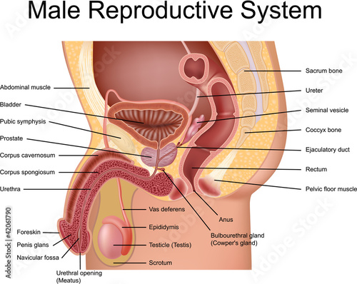 Male Reproductive System Cross Section View Stock Image And Royalty