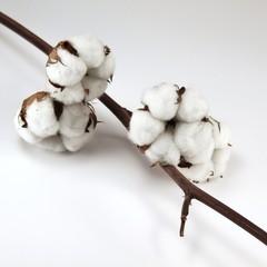 Baumwoll-Blume am Ast