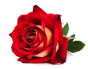 Foto op Aluminium Roses red rose isolated
