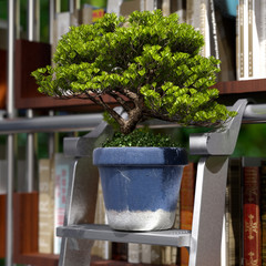 bonsai in a library 3d rendering