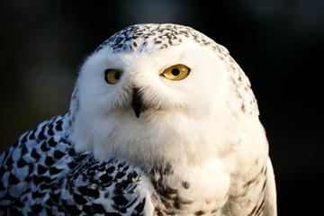 Fotoväggar - Snowy Owl