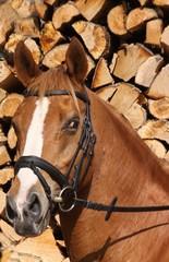 pferdeportrait vor holz