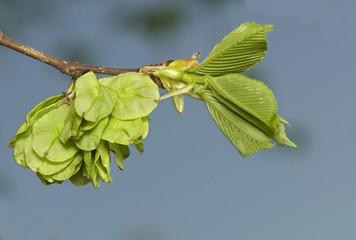 Flower elm