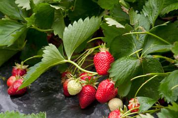 Landscape growing strawberries