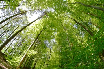 Rotbuchen im Wald im Frühjahr