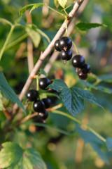 Branch of black currant on bush