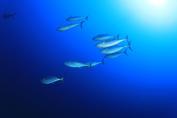 Underwater image of School of Tuna Fish in the Ocean