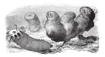 Sea cucumbers or Holothuria, vintage engraving.
