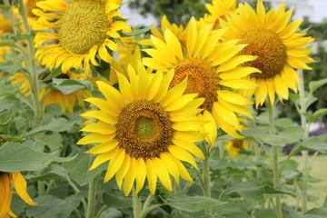 Beautiful sunflowers plants