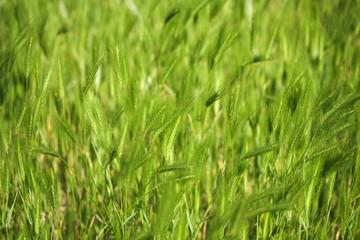 L herbe 1