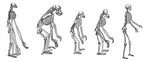 The comparison of greatest apes skeletons with human skeleton vi