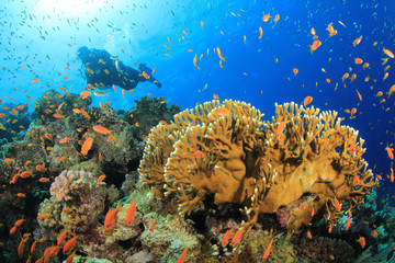 Coral Reef, Tropical Fish and Scuba Diver