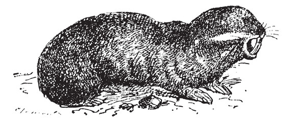 Spalax or mole rat, vintage engraving.
