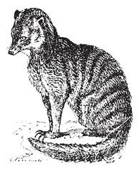 Meerkat or Suricate, vintage engraving.