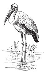 Yellow-billed Stork or Mycteria ibis vintage engraving