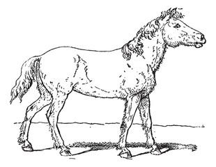 Tarpan or Equus ferus ferus vintage engraving