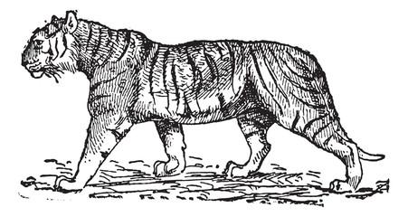 Tiger (Panthera tigris), vintage engraving.