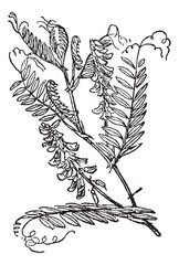 Tufted Vetch or Vicia cracca, vintage engraving