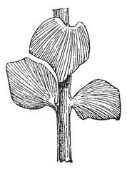 Sphenozamites latifolius, a Cycad, during the Jurassic Period, v