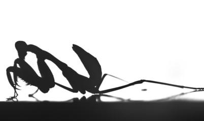 shadow of a praying mantis