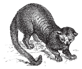 Kinkajou (Potos flavus) or honey bear, vintage engraving.