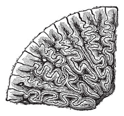 Labyrinthodontia, section of a tooth, vintage engraving.