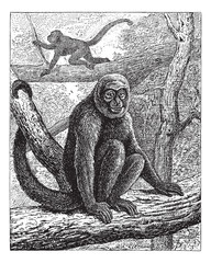 Humboldt's Woolly Monkey or common woolly monkey, vintage engrav