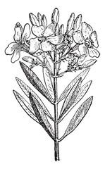 Oleander or Nerium oleander, vintage engraving