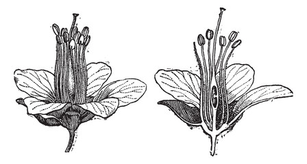 Logwood or Haematoxylum campechianum, vintage engraving