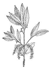 Cork Oak or Quercus suber, vintage engraving