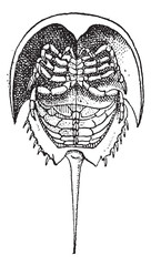 Horseshoe Crab or Limulidae, vintage engraving