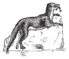 Eurasian Otter or Lutra lutra, vintage engraving