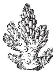 Coral or Anthozoa, vintage engraving
