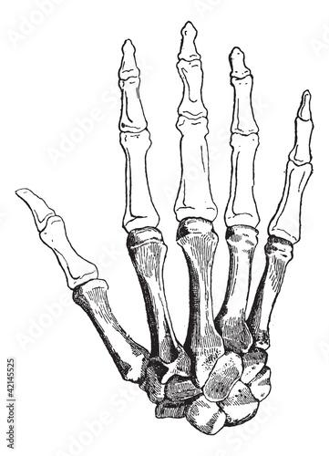 Bones of a Human Hand, vintage engraving\