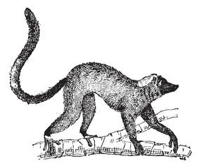 Lemur or Lemur sp., vintage engraving