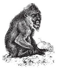 Mandrill or mandrill Mandrillus sphinx, vintage engraving