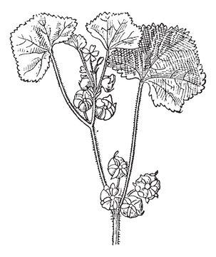 Roundleaf Mallow or Malva neglecta, vintage engraving