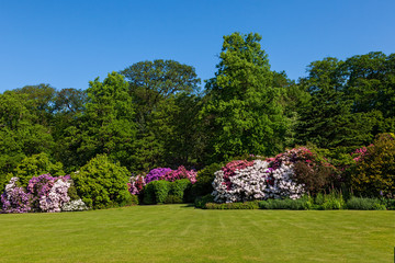 Rhododendron Azalea Bushes and Trees in Beautiful Summer Garden