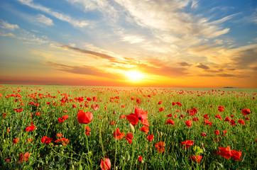 Fototapeta field with poppies obraz