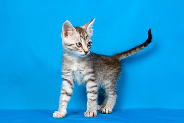 small kitten on a blue background