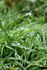 Spring, grass with rain drops in morning
