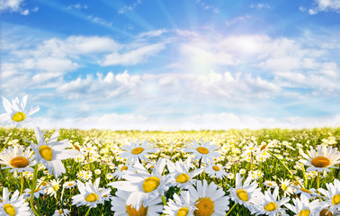 Springtime: field of daisy flowers with blue sky and clouds Wall mural