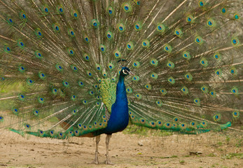 peafowl displaying