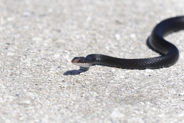 coluber constrictor priapus, southern black racer