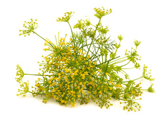 fennel flower isolated on the white