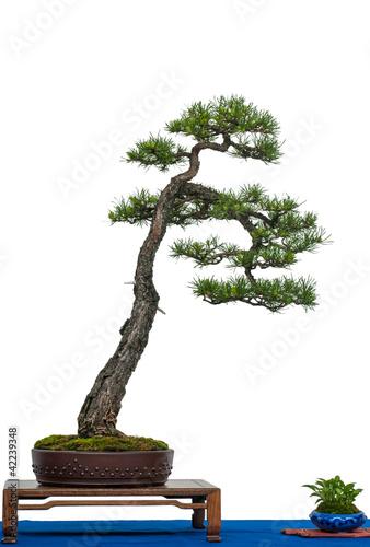 kiefer als bonsai baum stockfotos und lizenzfreie bilder auf bild 42239348. Black Bedroom Furniture Sets. Home Design Ideas