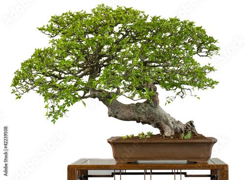 alte chinesische ulme als bonsai baum stockfotos und lizenzfreie bilder auf bild. Black Bedroom Furniture Sets. Home Design Ideas