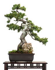 Photo sur Aluminium Bonsai Igel-Wacholder (Juniperus rigidus) als Bonsai-Baum