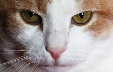 Chat félin portrait de face, animal de compagnie
